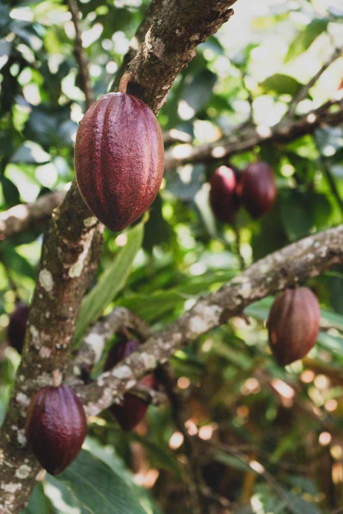 Cocoa growing in Abrahams's Spice Garden.